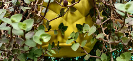 Small leaf plant on a beautiful yellow hanging pot with thorns inside a plant nursery in New Delhi, India