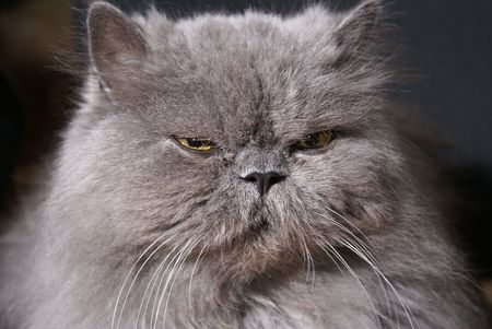 phlegmatic: Head of big fat persian cat on dark background        Stock Photo
