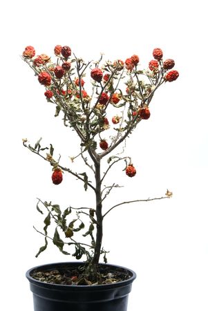 Small faded tree with red berries isolated on white photo