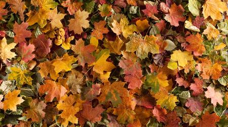 Colorful background of fallen autumn leaves Standard-Bild