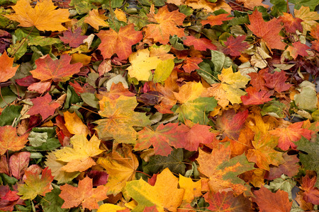 autumn colors: Colorful background of autumn leaves