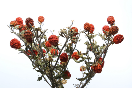 faded: Small faded tree with red berries isolated on white Stock Photo