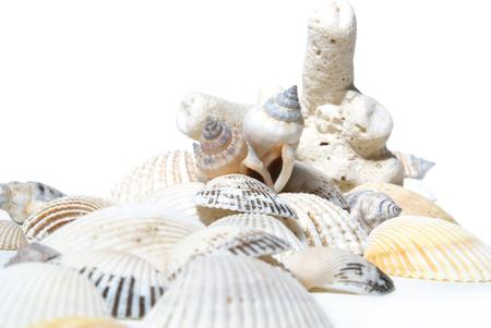 cockleshells: Coral and cockleshells on white