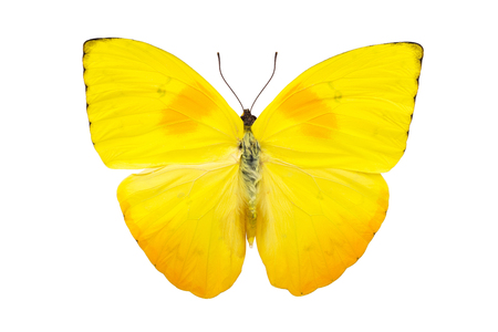 Beautiful bright yellow butterfly with huge wings isolated on white. Phoebis philea.