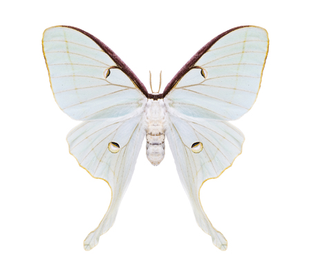 white tailed: Beautiful night moth with huge white tailed wings isolated on white. Saturniidae. Stock Photo