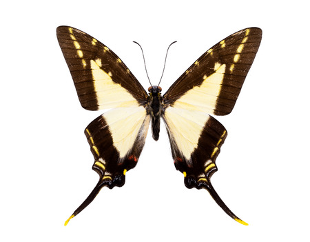 swallowtails: Beautiful tailed butterfly with black and light yellow wings isolated on white.  Eurytides (dioxippus diores or leucaspis)