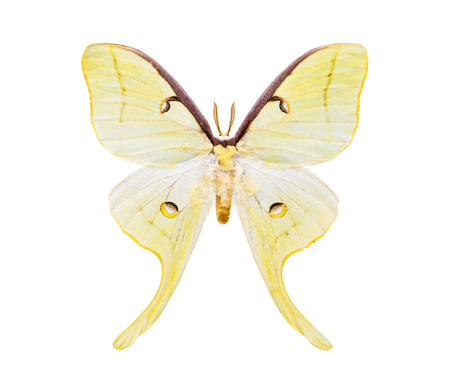 yellow tailed: Beautiful night moth with huge light yellow tailed wings isolated on white. Saturniidae.