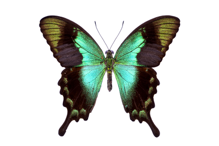 swallowtails: Beautiful colorful tailed butterfly with dark cyan wings isolated on white. Papilio, Palinuris. Stock Photo