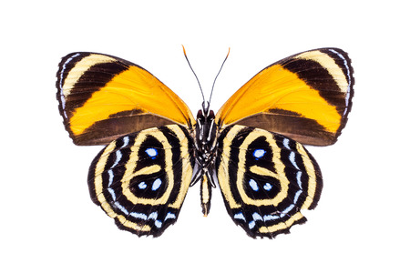 excelsior: Beautiful colorful dotted butterfly with black and yellow wings isolated on white. Callicore excelsior.
