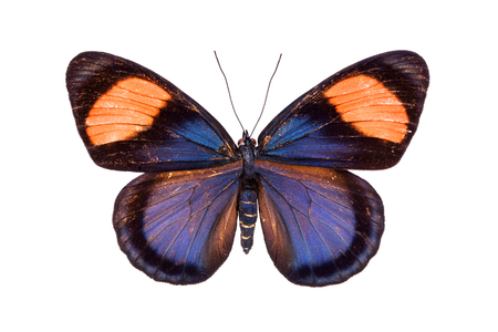 nymphalidae: Beautiful colorful butterfly with black, red and orange wings isolated on white. Nymphalidae, Meadow Wanderer Stock Photo