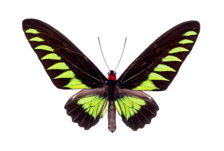 rajah: Papilio Trogonoptera Brookiana (Rajah Brooke Birdwings). Beautiful colorful butterfly with black and green wings isolated on white.