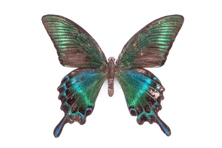swallowtails: Papilio, Palinuris. Beautiful colorful tailed butterfly with dark cyan wings isolated on white.