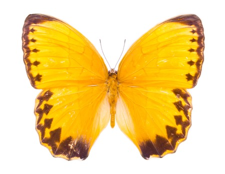 Stichophthalma Louisa. Burmese Junglequeen Siamensis. Beautiful colorful butterfly. Moth isolated on white.