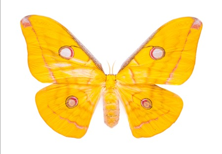 Aphantopus hyperantus. Beautiful colorful butterfly. Moth isolated on white. Stock Photo
