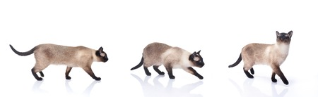 Siamese cat isolated on white background collection.