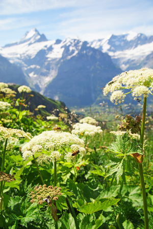 Alpine peaks of Grindelwald and Jungfrau. Landskape background of Bernese highland. Alps, tourism, journey, hiking concept. 版權商用圖片