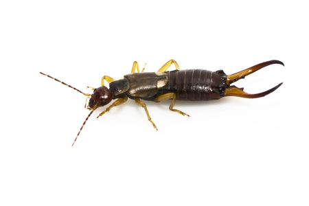 A male European earwig on a solid white background. Stock Photo