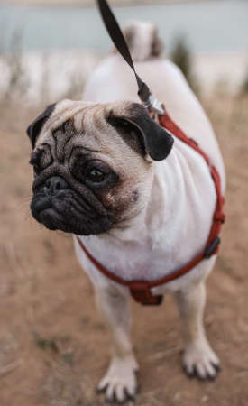 two-year-old pug fawn in red harness stands on dry grass closeup