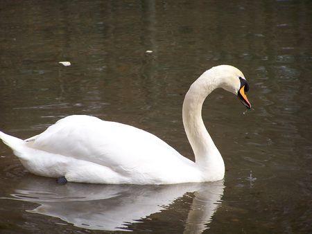 Trumpeter Swan on Lake Stock Photo - 2945348
