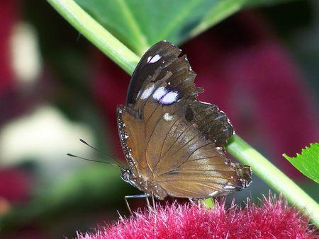 퍼지 꽃에 나비