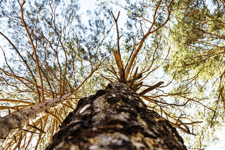 Trees  View from the ground  Russian forest  Wow photo