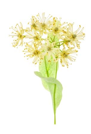 tilo: Rama de flores de tilo aislado sobre fondo blanco