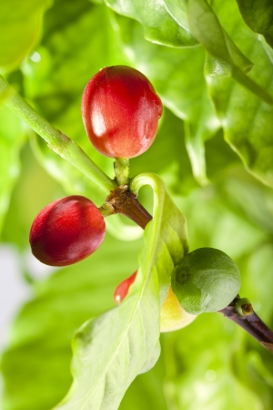 Coffee beans on a branch of coffee tree, ripe and unripe berries photo