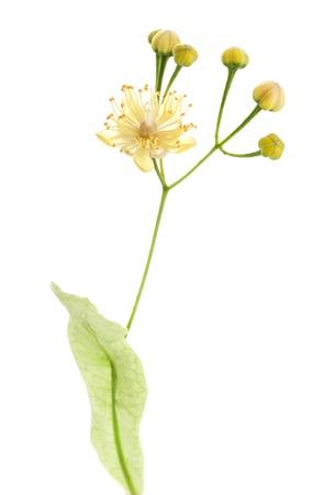 tilo: Linden flores aisladas sobre fondo blanco