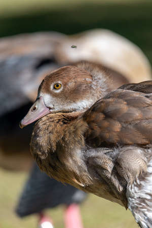 Egyptian Goose standing with its head rested and a fly flying right over its head caught on camera Imagens