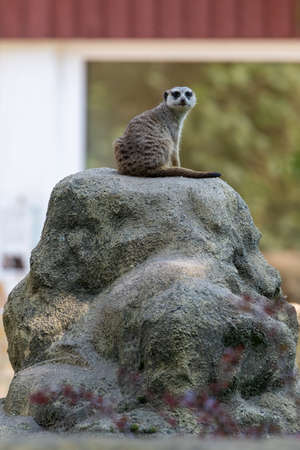 Watchful and alert Meerkat on the lookout sitting on a stone