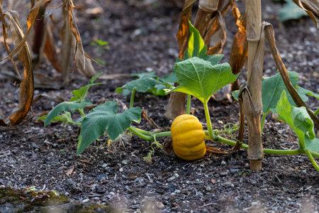 Small garden pumpkin (cucurbit) growing in the garden