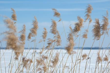 masuria: Reed with frozen lake in background, Masuria, Poland