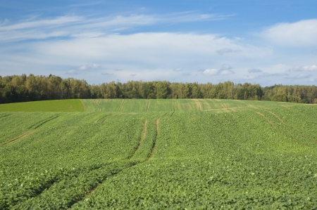 Field with tractor tracks in the growing crop photo