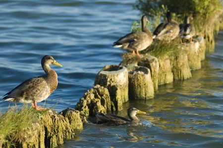 water fowl: Selective focus on one of the group of ducks warming up on a breakwater Stock Photo