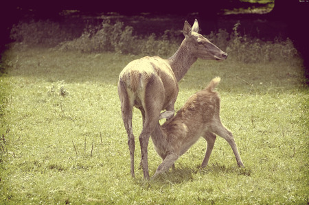 mother and baby deer: Vintage view of young doe suking milk on the forest glade Stock Photo