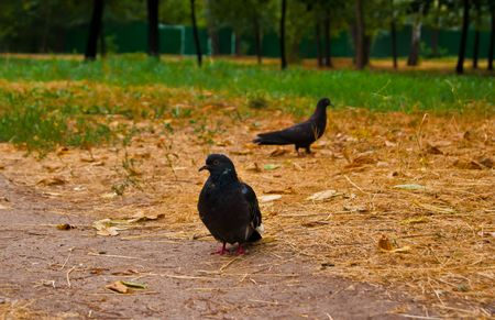 Pigeons on a glade Stock Photo