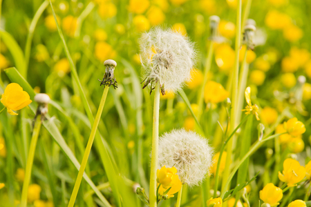 Green grass and dandelion on a summer day