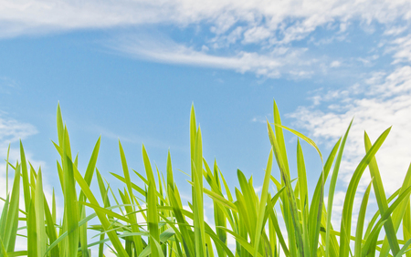 grass against the blue sky with ñlouds