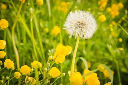 green grass and dandelion on summer day