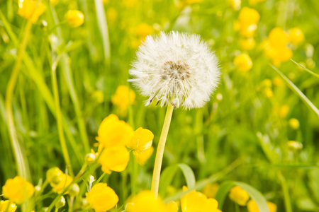 grass and dandelion on a summer day