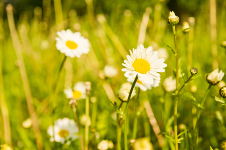 green grass and chamomile on a summer day