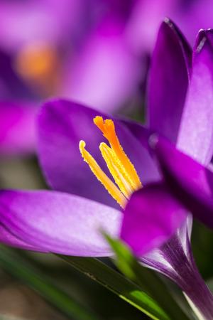 paarse krokus, meeldraad Stockfoto