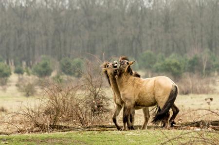 twee: twee konik paarden stoeien in het veld Stock Photo