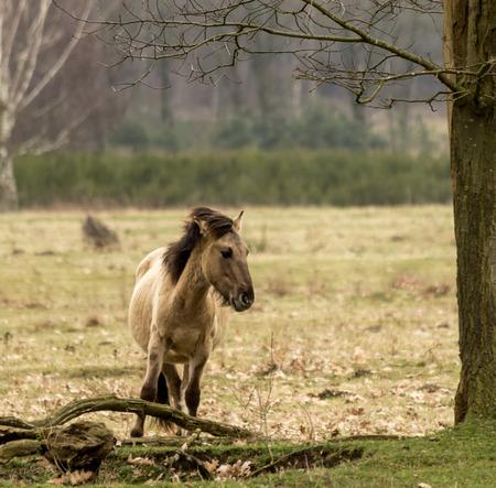 Konik paard Alleen op het Veld Stockfoto