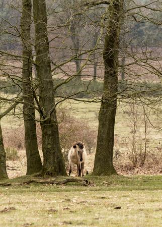 Konik paard Alleen Tussen de bomen Stockfoto