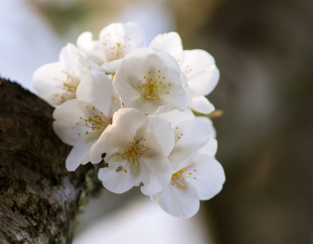close together: White blossom on branch, close together.