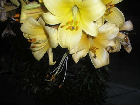 Lily 2 版權商用圖片