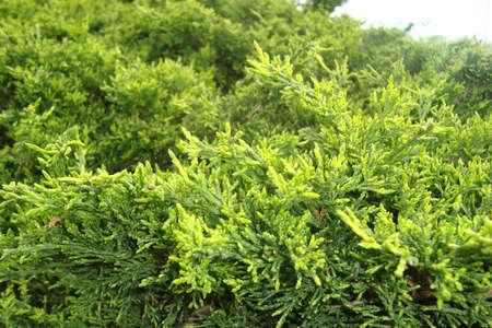Pine 版權商用圖片
