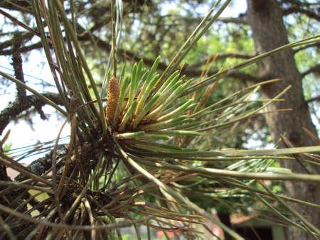 Pine Needles II