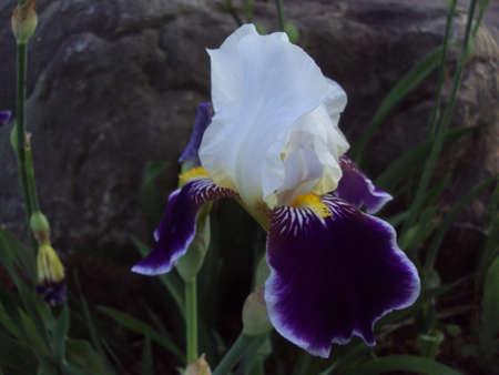 Purple Iris Reklamní fotografie
